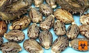 Яд рицин и отравление токсином