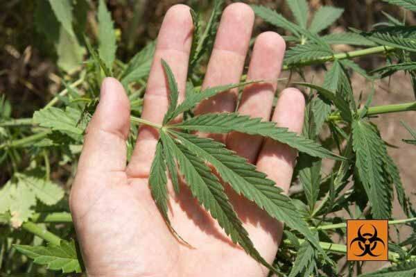Вред и польза марихуаны