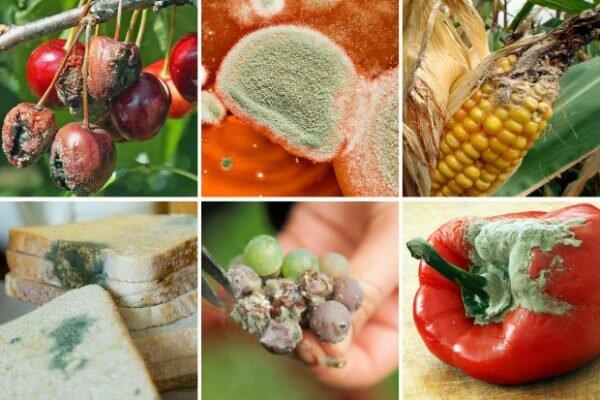 Продукты, на которых образуются микотоксины